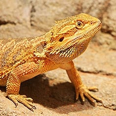 Bearded Dragon CB (Pogona vitticeps) Image