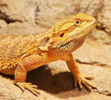 Bearded Dragon CB (Pogona vitticeps) Image