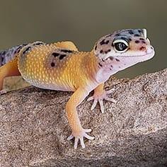 Lizard Care Sheets