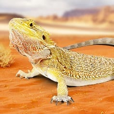 Sub Adult Bearded Dragon CB Pogona vitticeps) Image