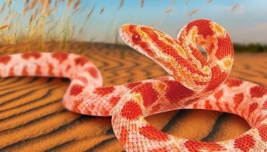 & Corn Snake Care Sheet u2013 Coast To Coast Exotics