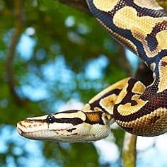 Royal Python Care Sheet