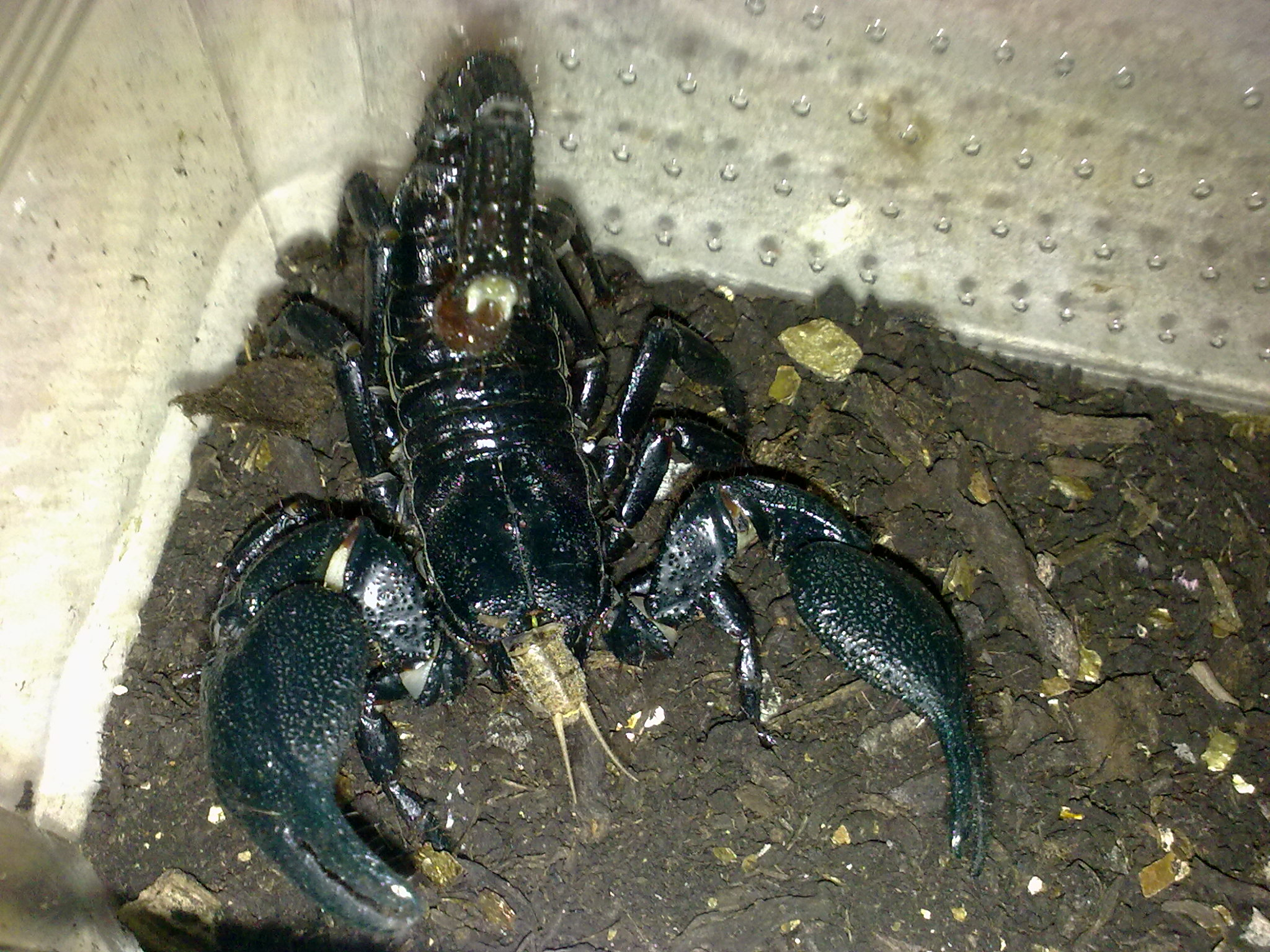 Asian Forest Scorpion CB (Heterometrus spinifer) Image