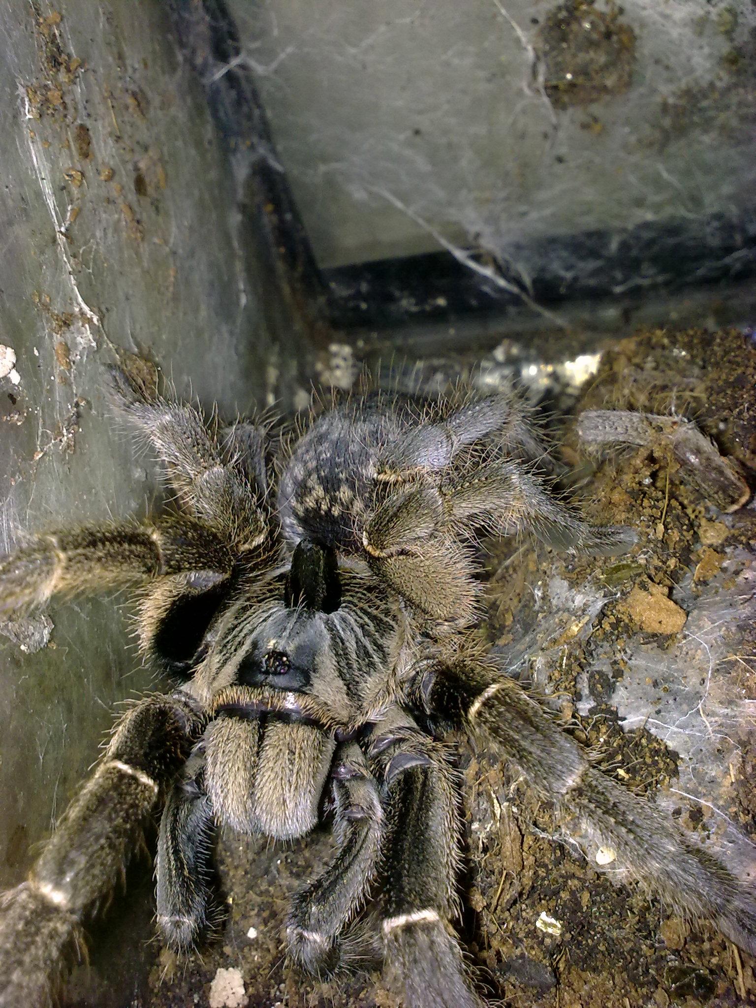 Greater Horned Baboon Tarantula CB (Ceratogyrus marshalli) Image