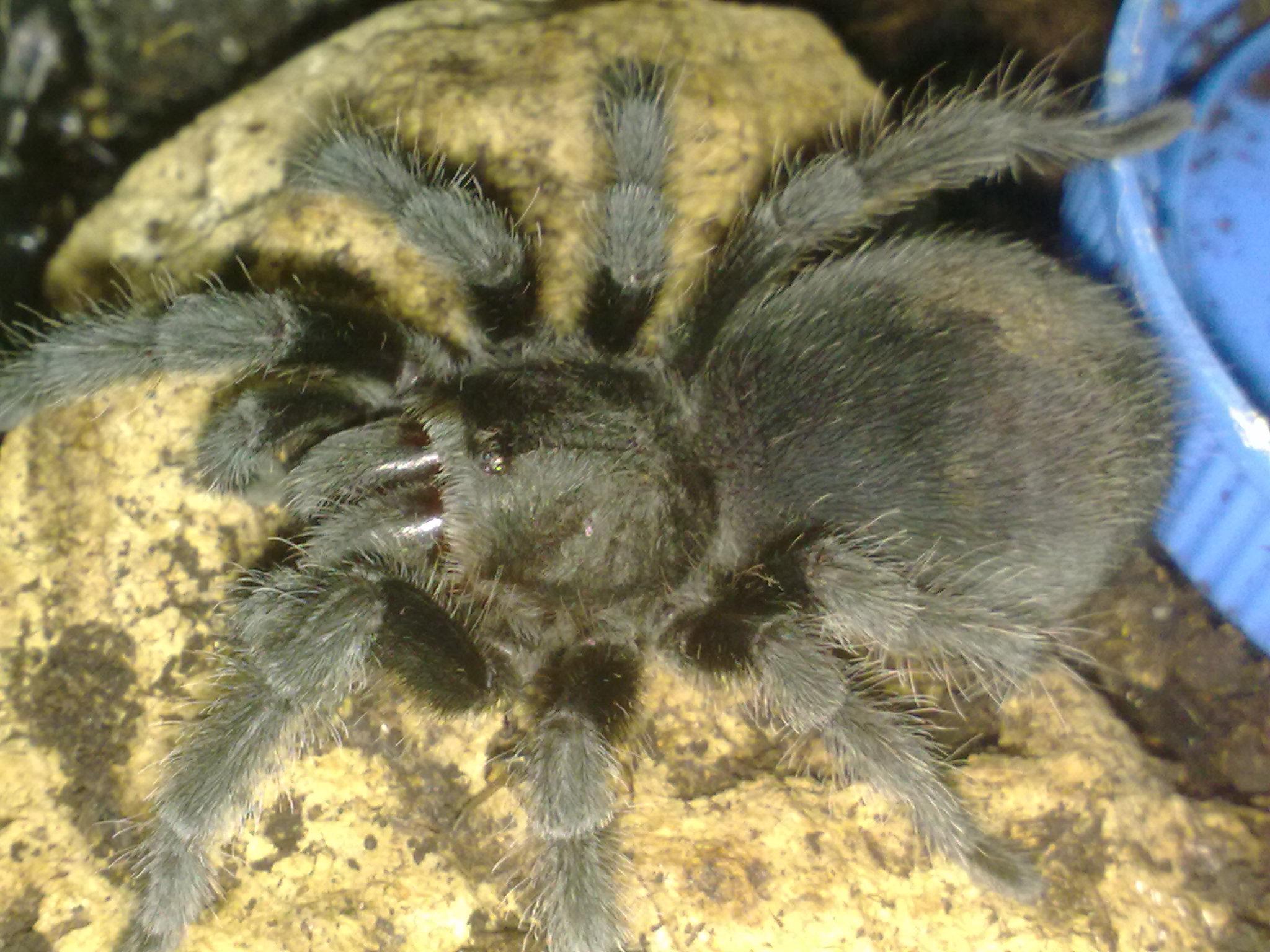 Brazilian Black Tarantula CB (Gramostola pulchra) Image