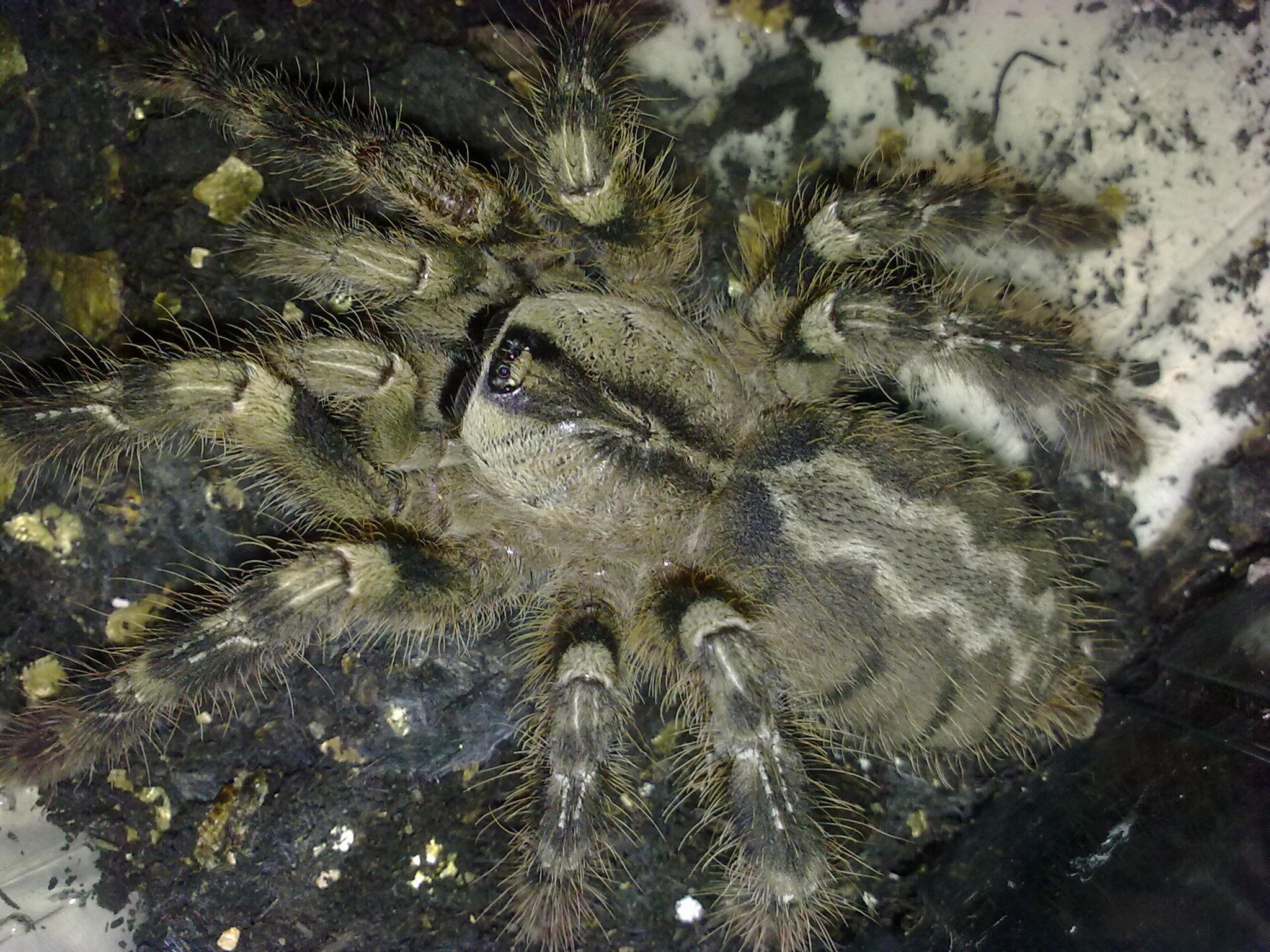 Indian Ornamental Tarantula CB (Poecilitheria regalis) Image