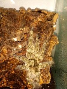 Feather Leg Baboon Tarantula CB (Stromatopelma calcareatum) Image