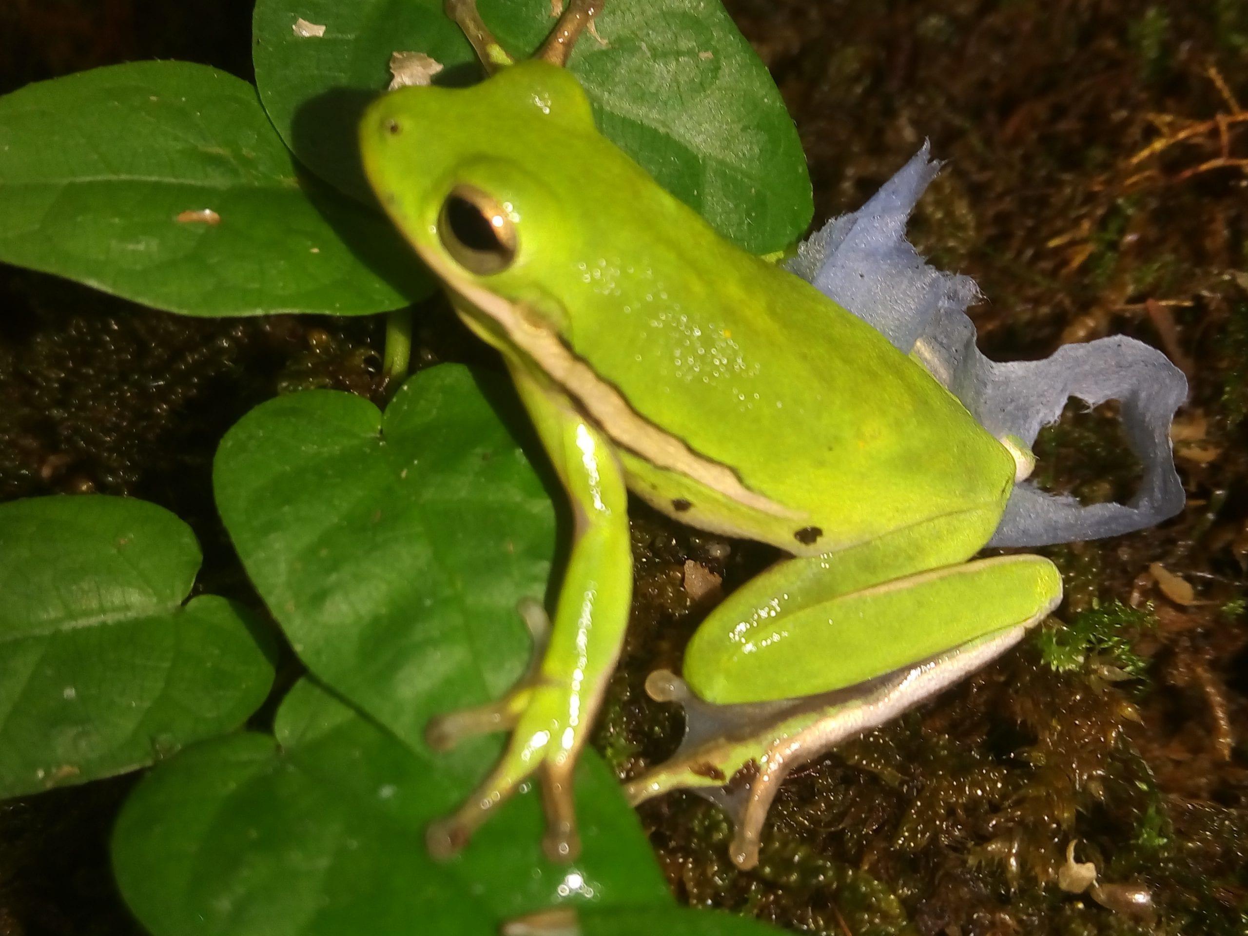 North American Green Tree Frog CB (Hyla cinerea) Image