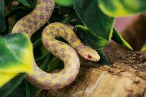 Albino Chequered Garter Snake CB (Thamnophis marcianus) Image
