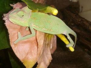 Yemen Chameleon CB (Chamaeleo calyptratus) Image