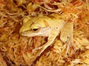 Asian Tree Frog CB (Kurixalus appendiculatus) Image