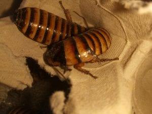 Halloween (Javan) Hissing Cockroach CB (Elliptohina javanica) Image