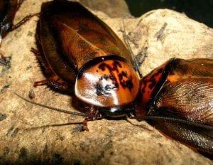 Orange Headed Cockroach CB (Eublaberus Posticus) Image