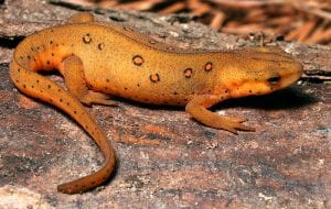 Eastern Red Spotted Newt WC (Notophthalmus viridiscens) Image