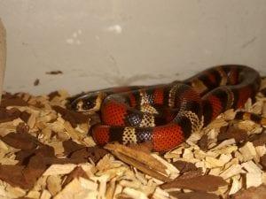 Honduran Milk Snake CB (Lampropeltis triangulum hondurensis) Image