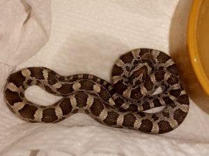 Anery Corn Snake CB (Pantherophis guttatus) Hatchlings Image