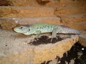 European Eyed Lizard CB (Timon lepidus) Image