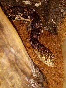 Northern Pine X Bull Snake CB (Pituophis melanoleucus melanoleucus X P. catenifer sayi) Image