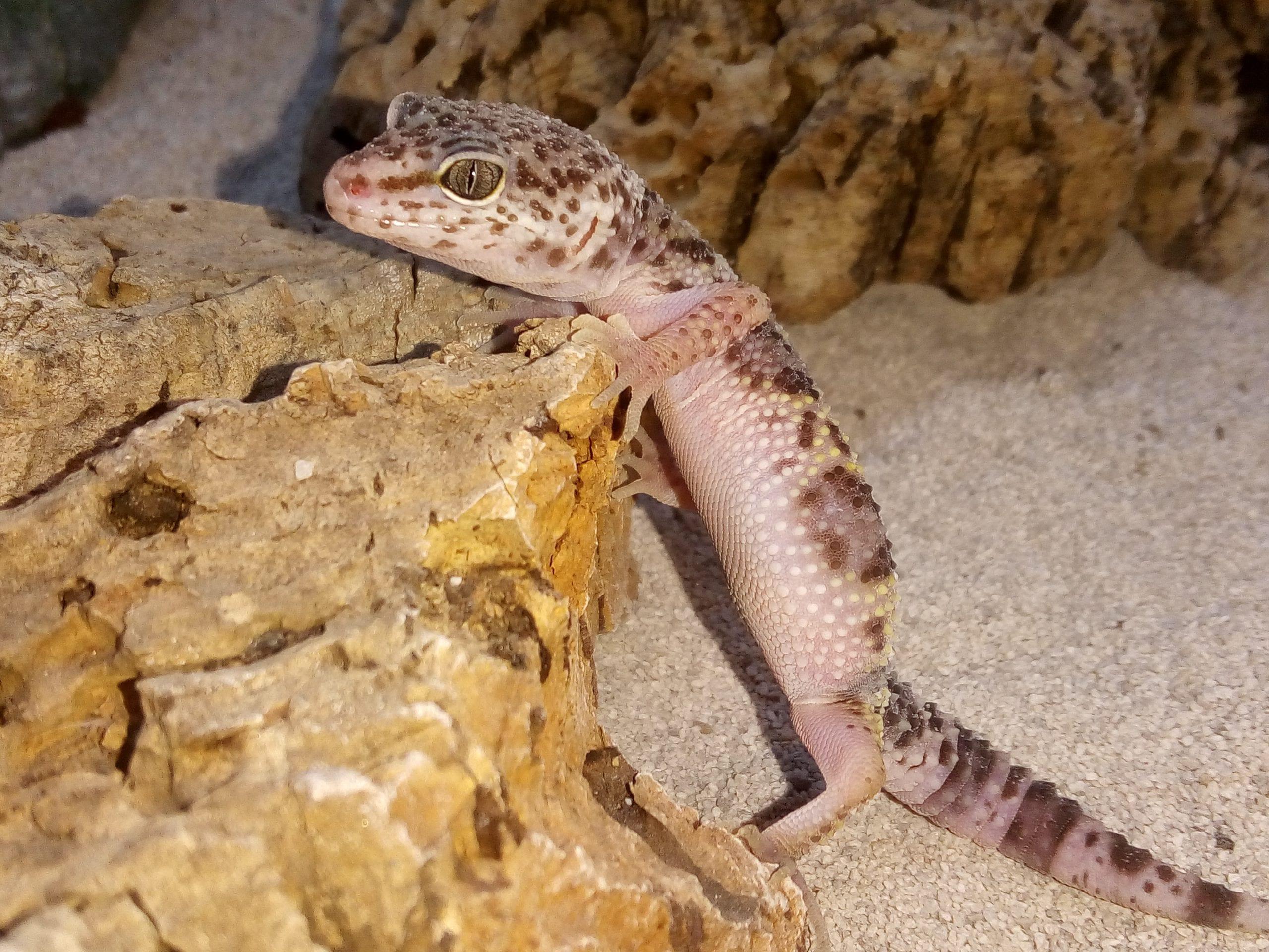 Montanus Leopard Gecko CB (Eublepharis macularius montanus) Image