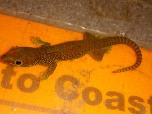 Madadgascan Giant Day Gecko CB (Phelsuma madagascariensis grandis) Image