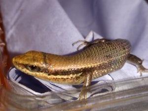 Bronze Grass Skink WC (Mabuya macularia) Image