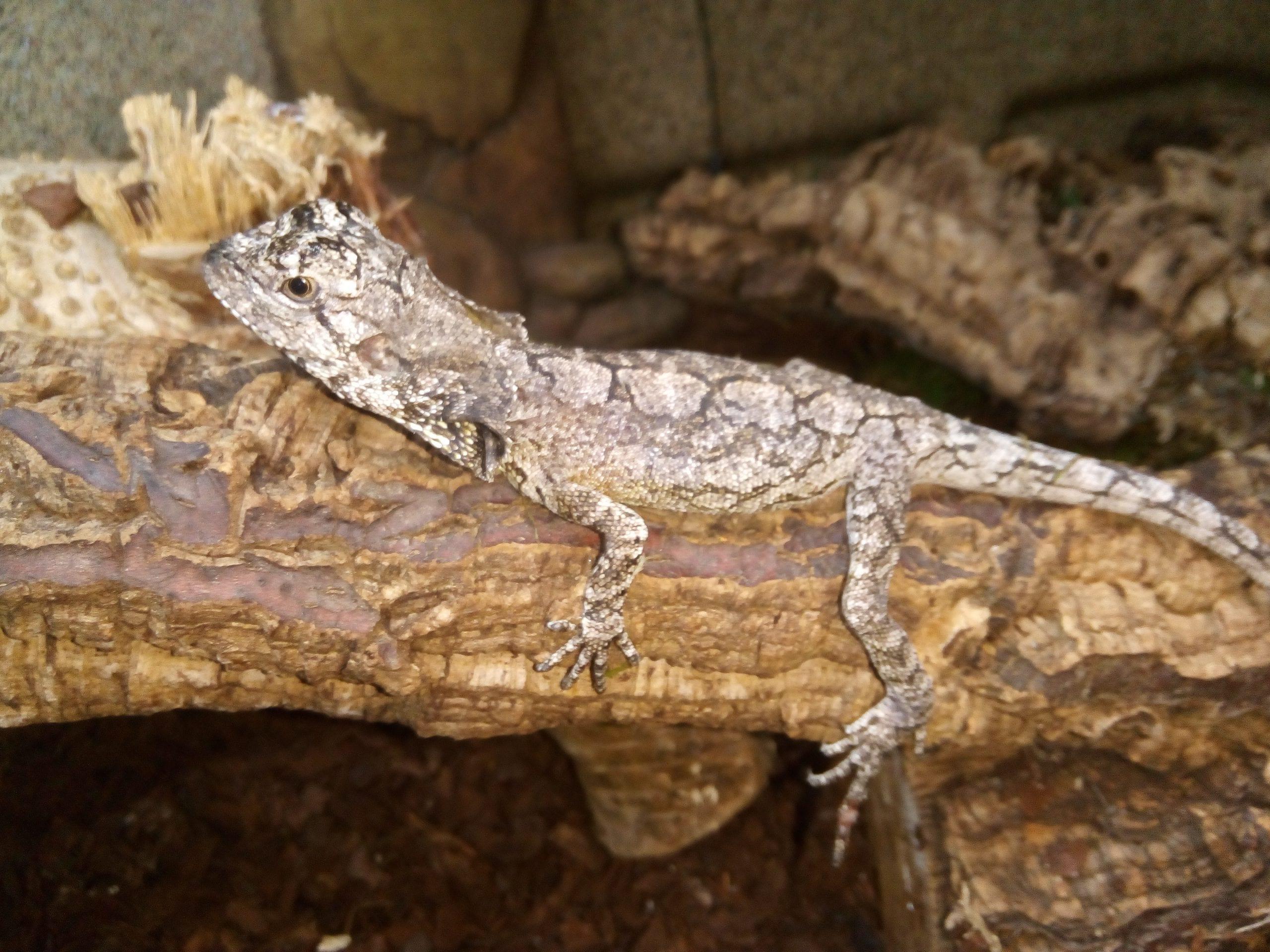 Frilled Dragon CB (Chlammydosaurus kingii) Image
