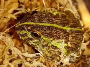 Giant African Bullfrog CB (Pyxiecephalus adspersus) Image