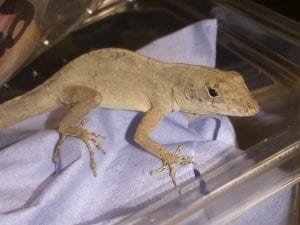 Brown Anole CB (Norops sagrei) Image
