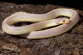 Albino Californian King snake CB (Lampropeltis getulus californiae) Image