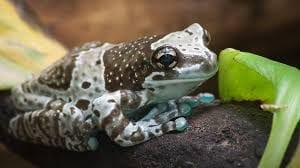 Amazon Milk Frog CB (Trachycephalus resinifictrix) Image