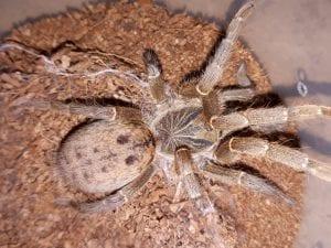 Forthall Baboon Tarantula CB (Pterinochilus lugardi) Image