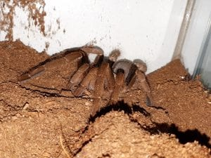 Nigerian Brown Tarantula WC (Hysterocrates laticeps) Image