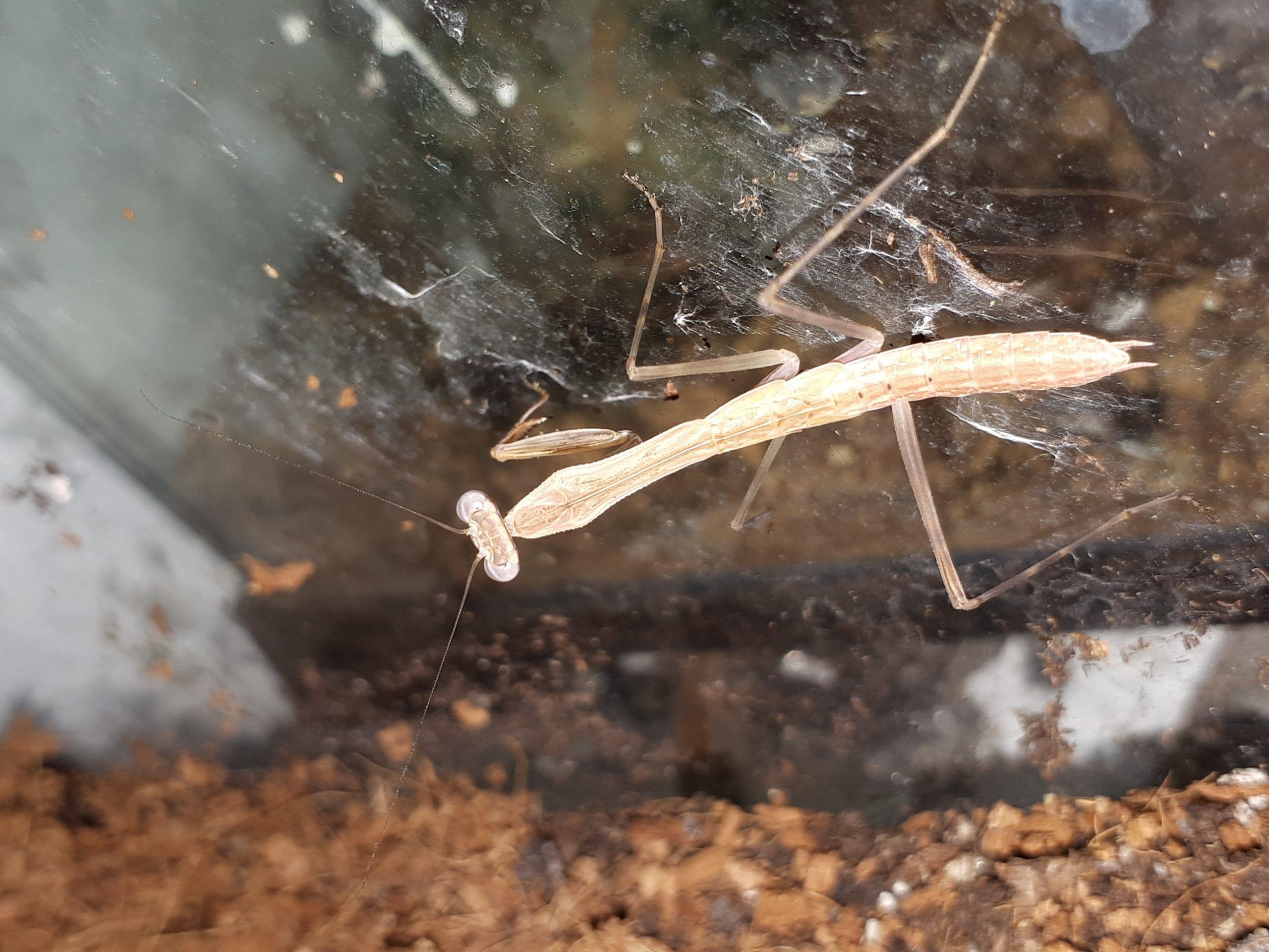 Madagascan Marbled Mantis CB (Polyspilota aeruginosa) Image