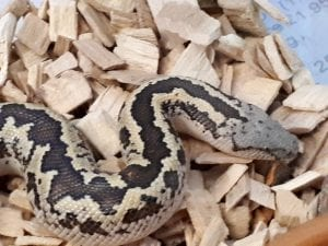 Rough Scaled Sand Boa CB (Gonglyophis conicus) Image