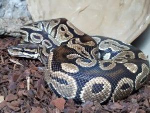 Adult male Royal Python CB (Python regius) Image