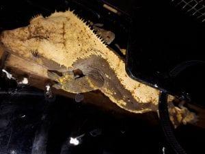 Adult Female Crested Gecko cb (Correlophus ciliatus) Image