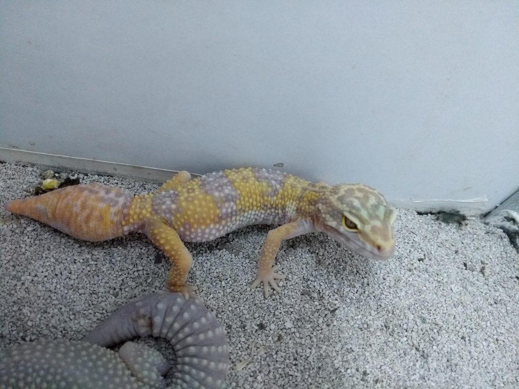 Albino Leopard Gecko CB (Eublepharis macularius) Image