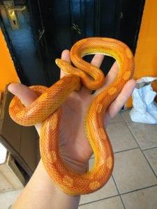 amel Corn Snake Hatchling CB (Pantherophis guttatus) Image
