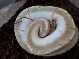 male Bambee Royal Python cB (Python regius) Image