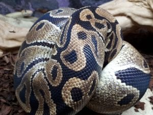 Adult Female Royal Python CB (Python regius) Image