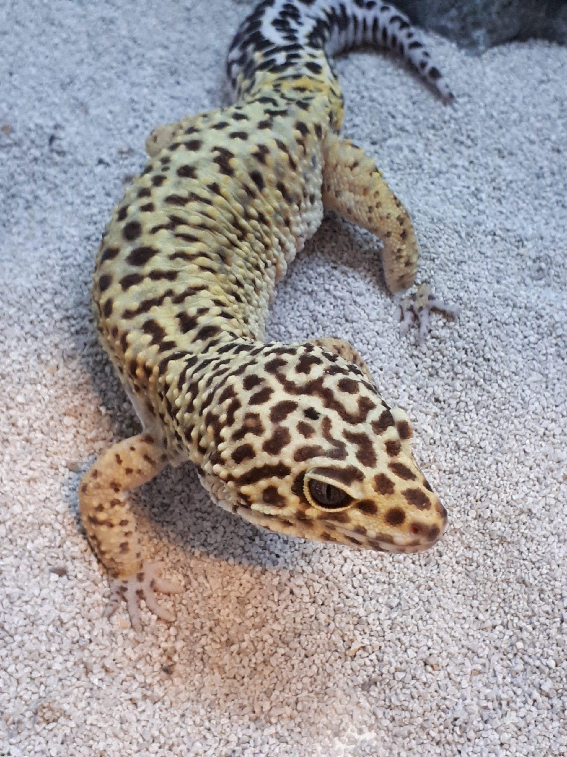 Leopard Gecko CB (Eublepharis macularius) Image