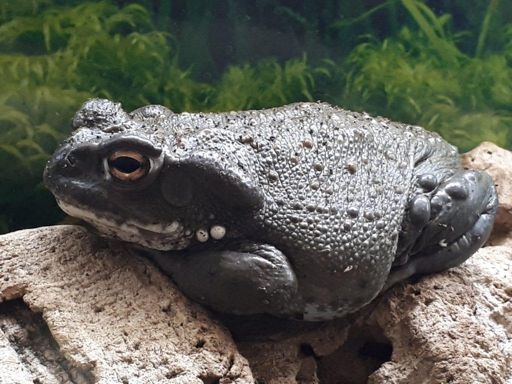 Colorado River Toad CB (Incilius alvarius) Image