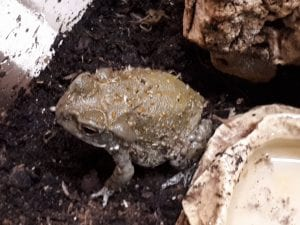 Colorado River Toad WC (Incillius avarius) Image