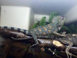 Pair of Chameleon Forest Dragon CB (Goneocephalus chamaeleontinus) Image
