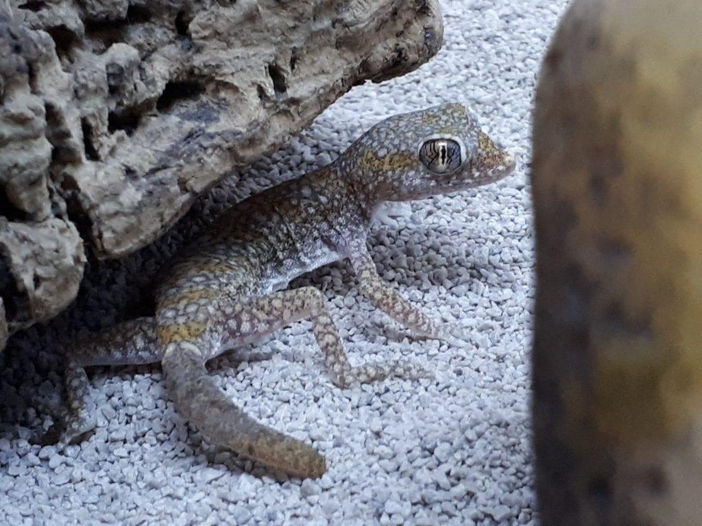 Dune Gecko WC (Stenodactylus stenodactylus) Image