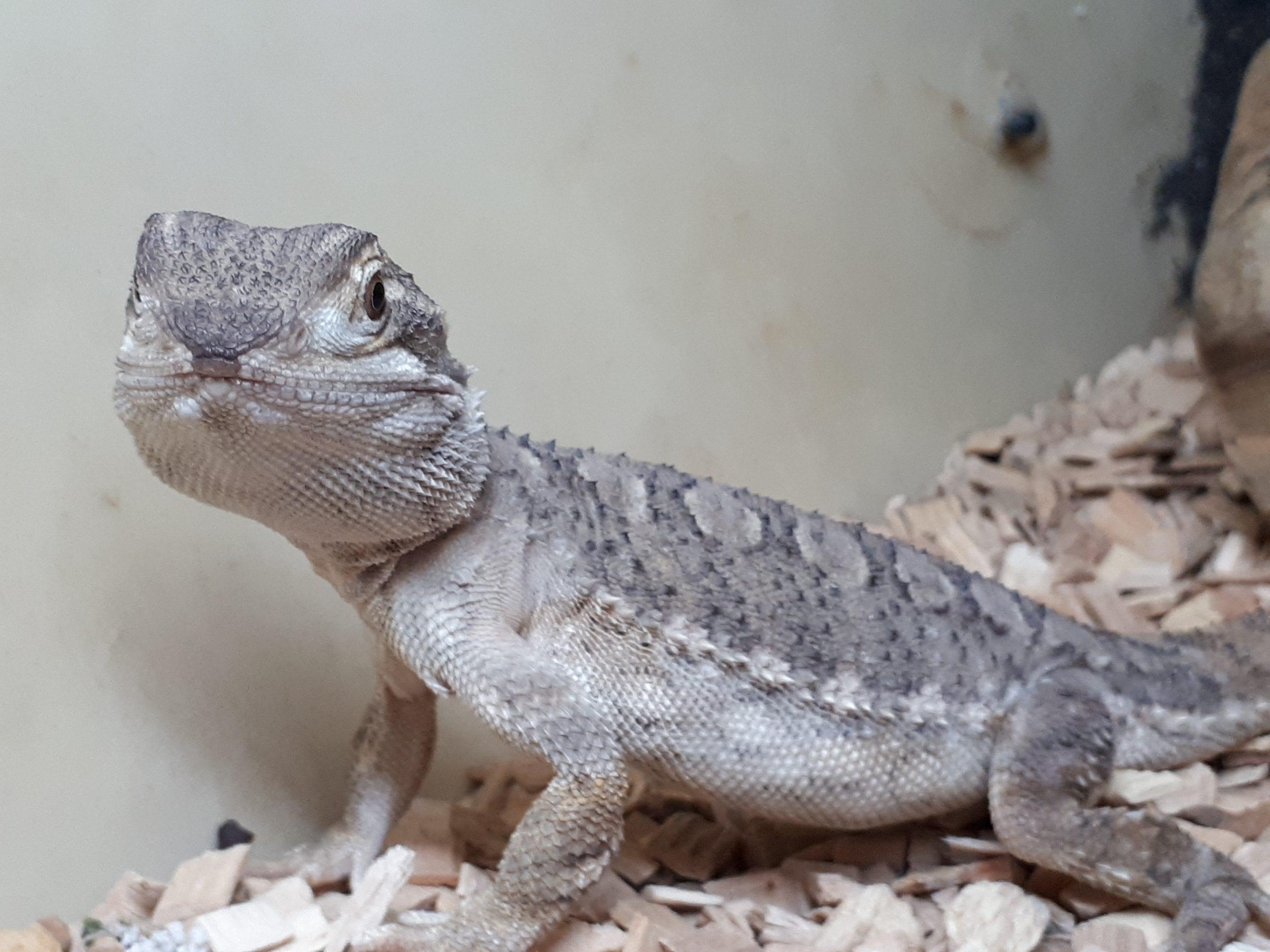 Rankin Dragon CB (Pogona henrylawsoni) Image