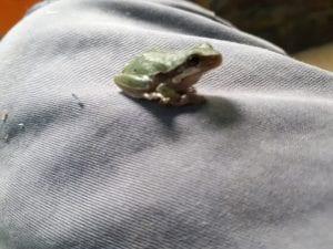 European Green Tree Frog CB (Hyla arborea) Image