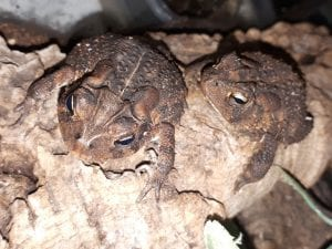 Southern Toad wc (Anaxyrus terrestris) Image