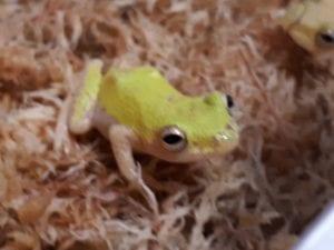 Reed Frog WC (Hyperolius sp.) Image