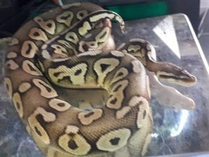Pewter Royal Python cb (Python regius) Image